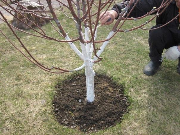 Экологичные рецепты побелки деревьев осенью