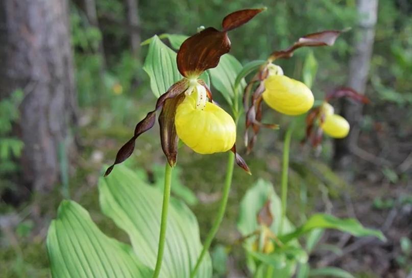 Уральские орхидеи