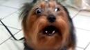 Собака лает Dog barks Йоркширский терьер Yorkshire Terrier barking |