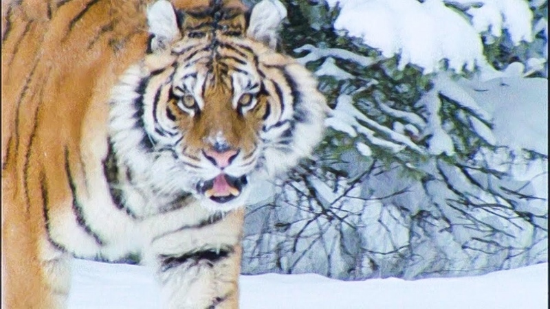 A Snow Tiger Complaining About Snow Walk On The Wild Side Funny Talking Animals BBC Earth