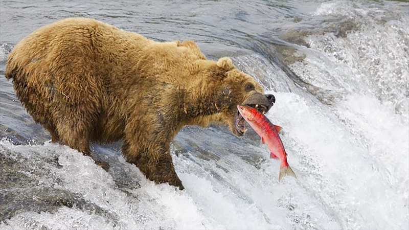 HOW GRIZZLY BEAR CATCHING FISH?   Discovery Animal Planet