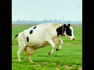 Фитнес-браслеты для коров