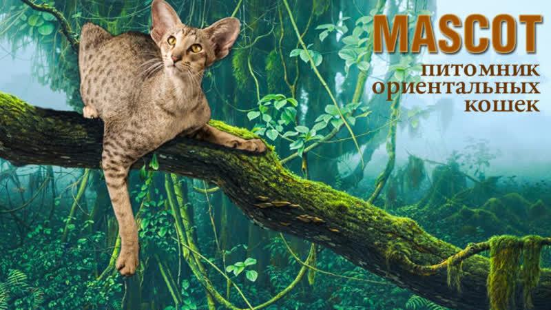 Ориентальные котята Питомника ориентальных кошек MASCOT