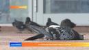 В Саранске массово гибнут голуби