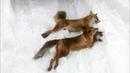 охота на лису с гончими потрошители лис 7 и 8 лисы сезона