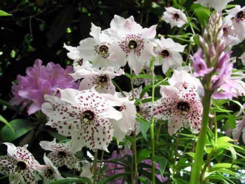 Номохарис - альпийская лилия
