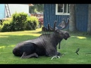 Moose beats the heat with homeowner's sprinkler World News
