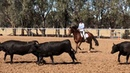 Working Equitation Cattle Work