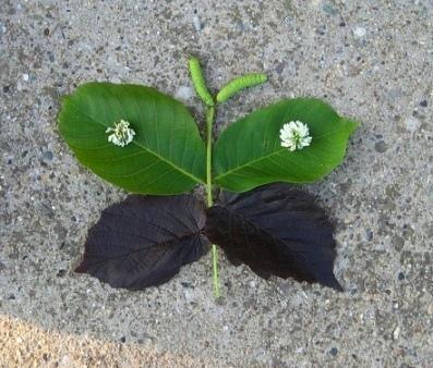 Бабочка из листьев Картинки из листьев, цветов, травинок и других природных материалов можно выкладывать с малышом на прогулке, в парке, на даче. А можно из них сделать аппликацию на листе