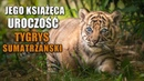 Nowy mieszkaniec @ZOO Wrocław. To tygrys sumatrzański