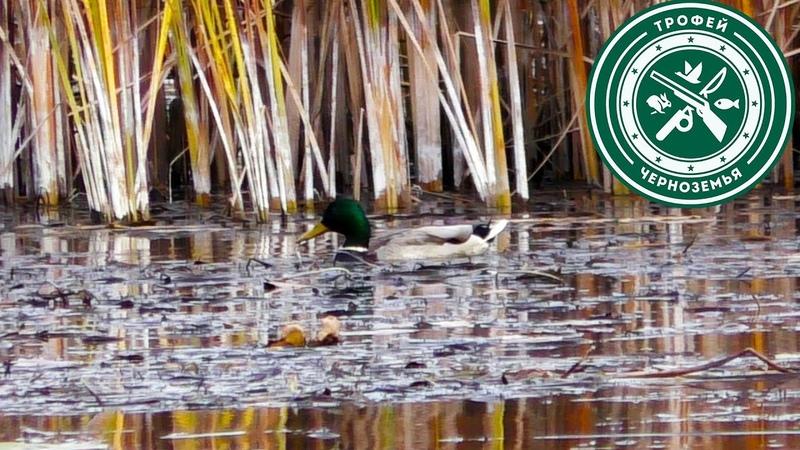 Охота на утку 2020 ПЕРЕЛЕТНАЯ КРЯКВА уже на болотах
