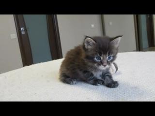 Кошка VolgaLand's Lerou 😍- черная тикированная/мраморная? (n25/22?) - свободна.