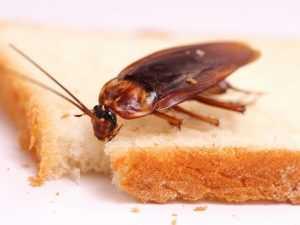 Самый распространенный вид домашних тараканов