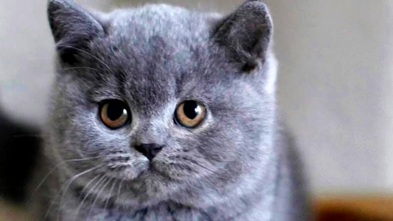 #Британская короткошерстная #кошка - описание породы