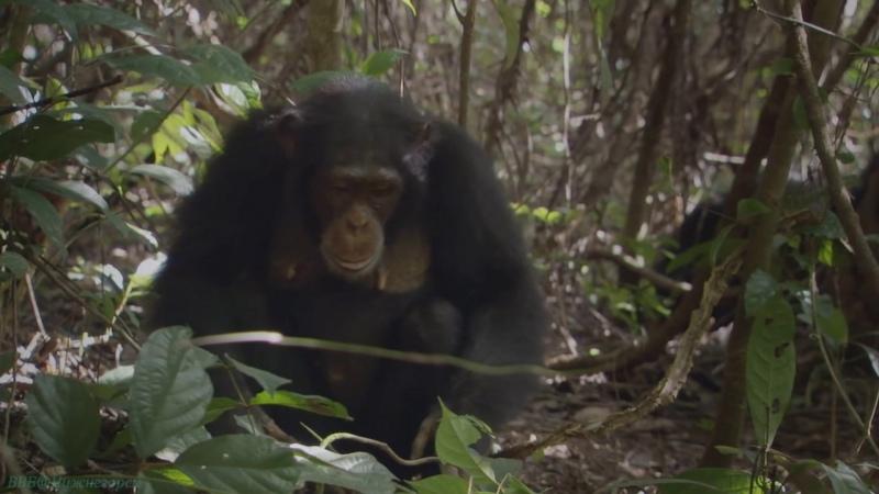 BBC Жизнь 10 Приматы Познавательный природа животные 2009