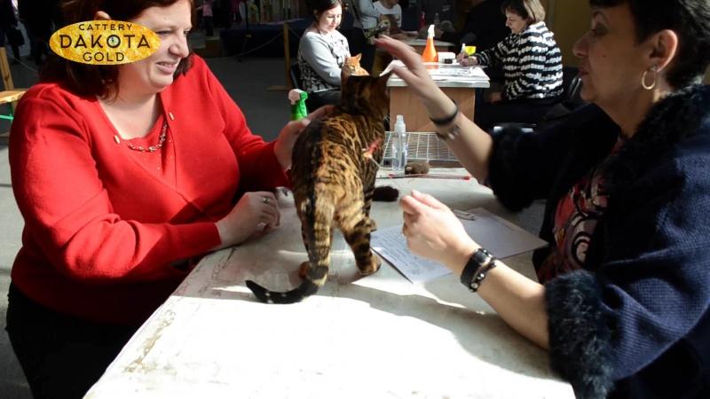 Международная выставка кошек, Харьков, 5 марта 2017, бенгалы для внутреннего пользования