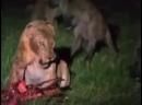 Глава прайда лев против матриарха гиен