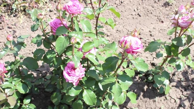 Наши красавицы розы прелесть