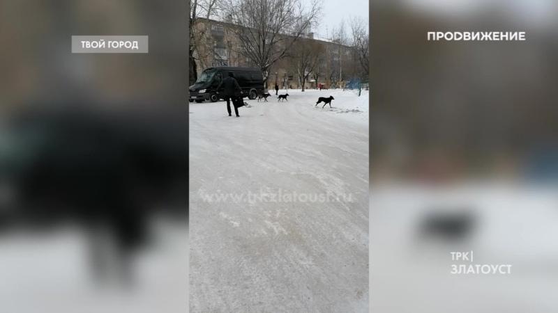 Человек собаке друг? В Златоусте бездомные псы продолжают нападать на людей и гоняться за автомобилями.
