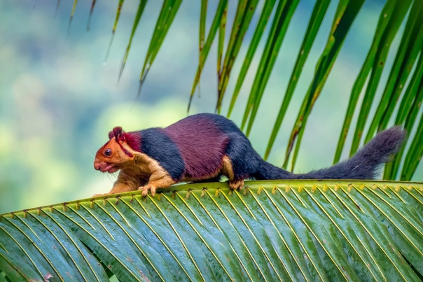 Индийская белка ратуфа Эти белки имеют разноцветный окрас: от бежевого до оттенков коричневого и ржавого. Длина их тела может достигать 36 см, а хвоста до 60 см. Следовательно, общая длина