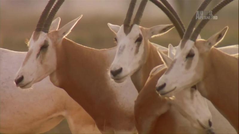 В дебрях Африки Сахара Документальный фильм Animal Planet Africa Sahara