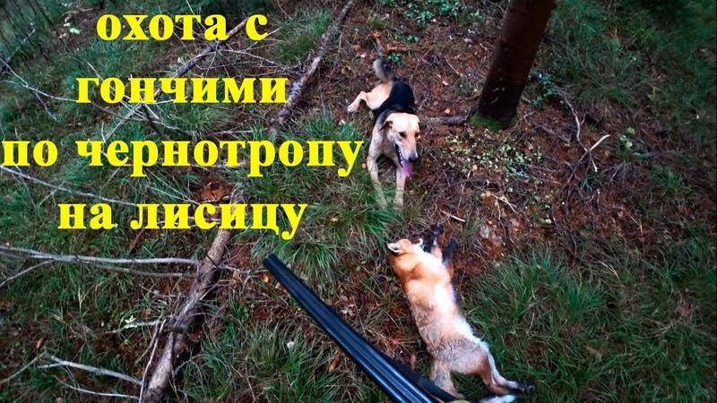 Охота с гончими по чернотропу на лисицу в лесу Кировская область 2020