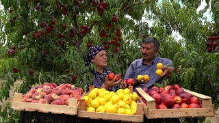 Harvesting Three Types Nectarines and Canning for Baking in Winter