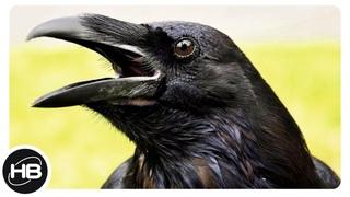 Top10 Самые Интересные Факты о Воронах. Познавательное о птицах.