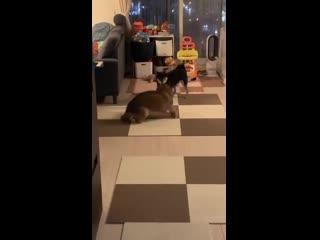 Необычно синхронные танцы у двух забавных собак