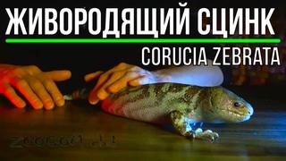 Невероятная ящерица - цепкохвостый сцинк. Giant skink: briefing.