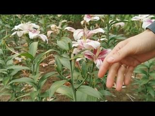 Приглашение на выставку лилий в Ботаническом саду и основные проблемы выращивания лилий летом 2021г